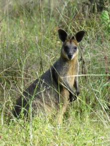 wallaby - Cania Gorge